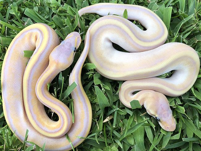 Jons Jungle - Exotic Captive Bred Reptiles - Ball Python Snakes